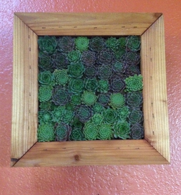 Planted 12 X 12 Inch Living Frame Varied Sempervivums